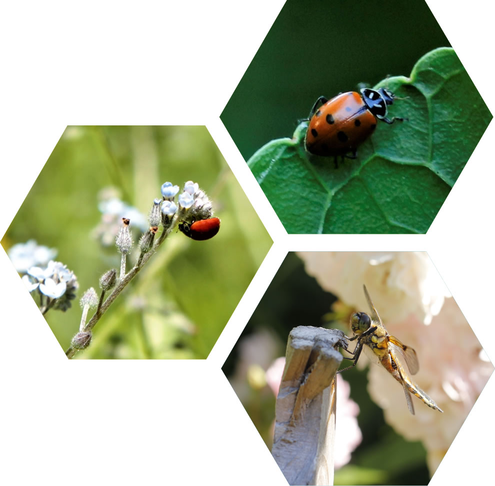 Pesticides and Ladybugs